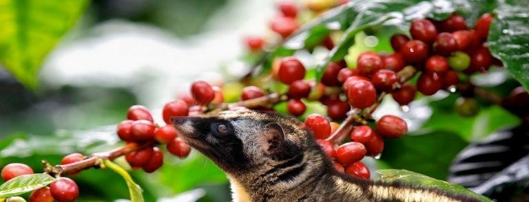 Café más caro kopi luwak